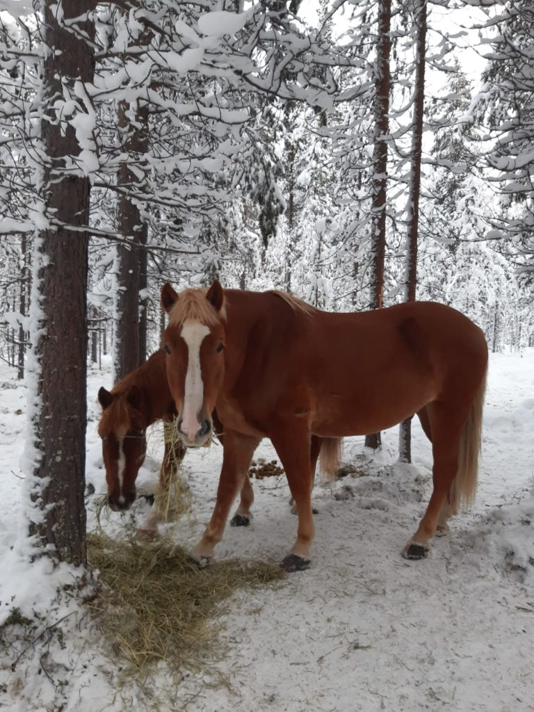 snowy forest in lapland Polaris Point Horses
